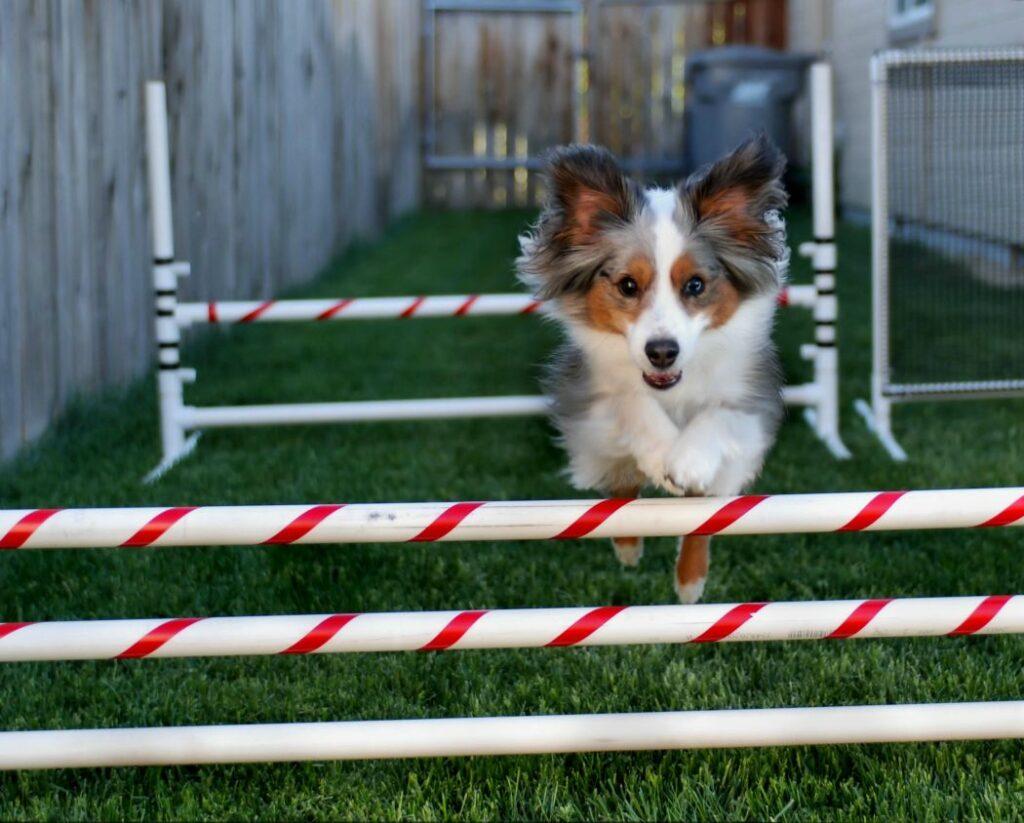 saut obstacle chien