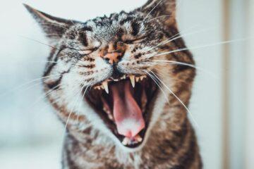 hygiène dentaire chat