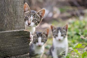 Phobie des chats
