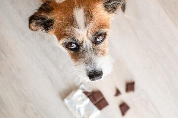 danger chocolat chioen