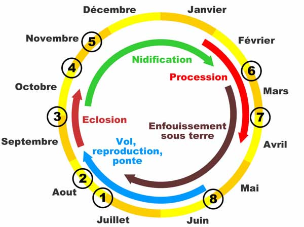 Cycle chenille processionnaire